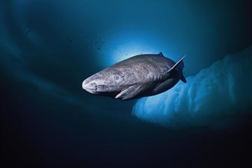 articles - 400-year-old greenland shark 'longest-living vertebrate'